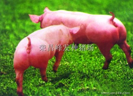 二元母猪 重庆市荣昌县峰发种猪场